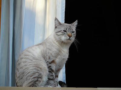 window-animal-pet-fur-relax-cat-992486-pxhere.com.jpg