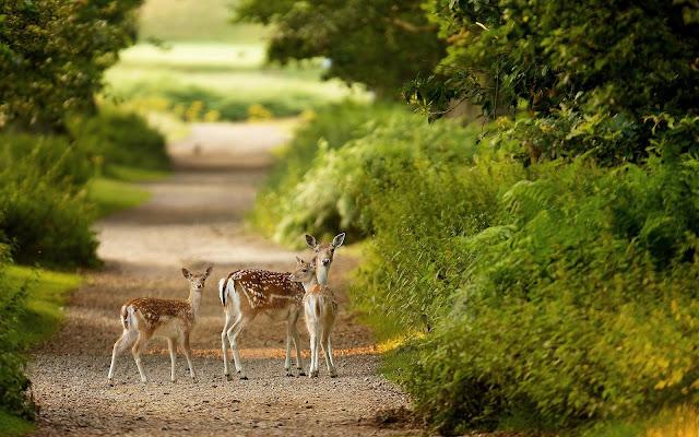 Herten op een bospad