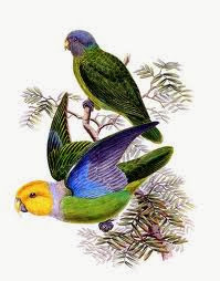 Lorito heteróclito: Geoffroyus heteroclitus