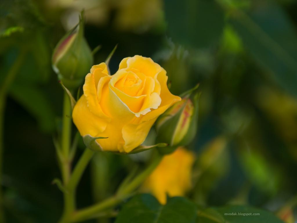 Yellow Wallpaper Rose Hd Download Free