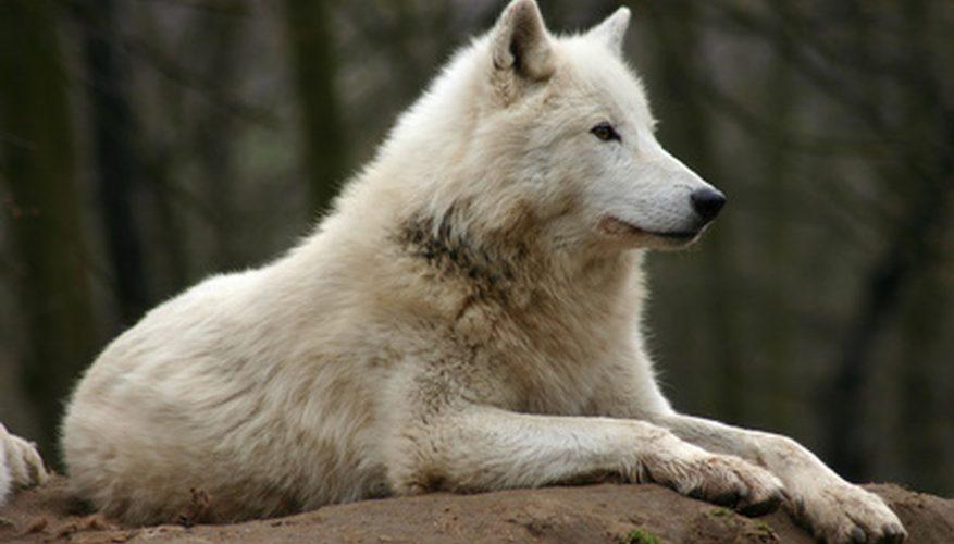 Canis lupus albus