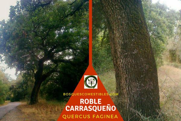 Quercus faginea, Roble Carrasqueño o Quejigo, árbol de la familia Fagaceae.