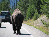 These bison walks cozy along with the cars on the Yellowstone National Park loop road