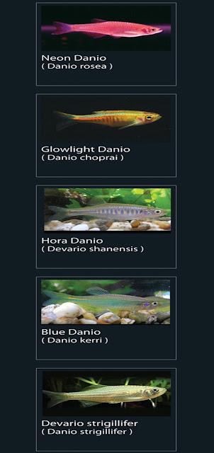 16. Blue Danio Nama latin Danio  kerri 17. Devario strigillifer Nama latin Danio strigillifer13. Neon danio Nama latin Danio Rosea  14. Glowlight Danio  Nama latin Danio  choprai  15. Hora Danio  Nama latin Devario shanensis
