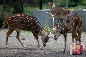 Fungsi Tanduk yang Ada Pada rusa
