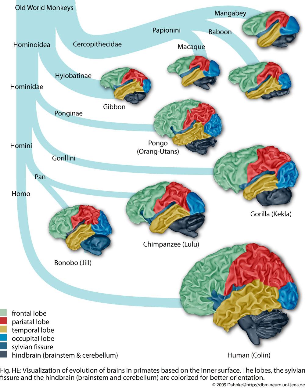 Desafiando A Nomenklatura Cientifica O Tamanho De Cerebro
