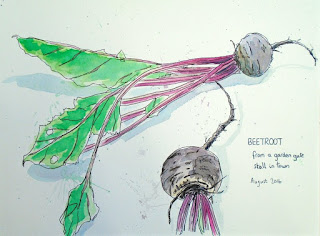 Ink and watercolur sketch of beetroot