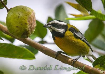Jamaican Spindalis