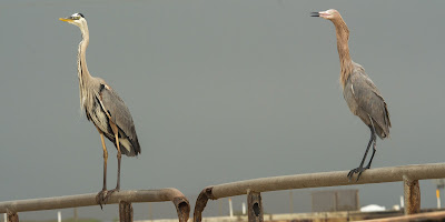 Great Blue Heron and Reddish Egret, Rollover Pass