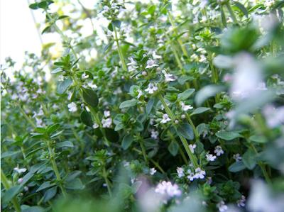 timo-erbe-aromatiche-ricettae.blogspot.it