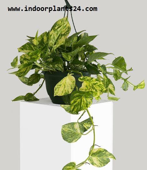Epipremnum Aureum plant photo