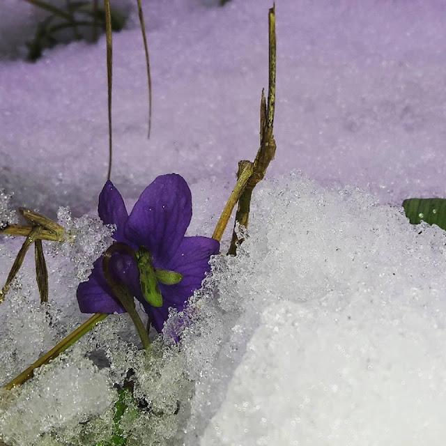 primavera c