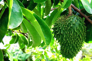 Benefits Of Soursop Leaves A Very Profitable