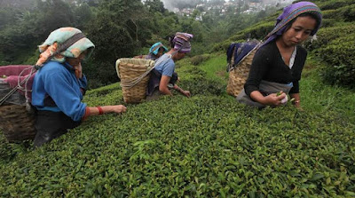 Darjeeling tea industry