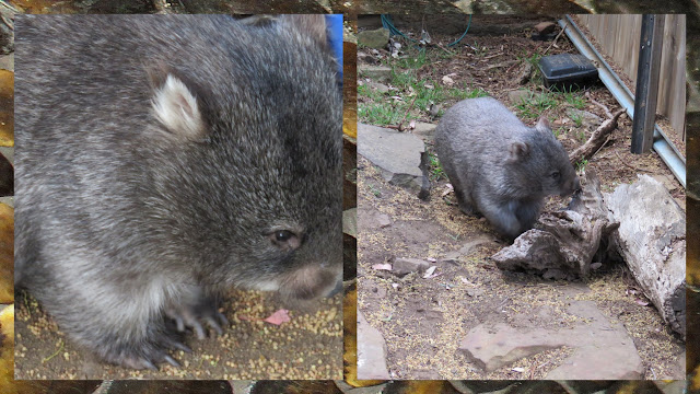 Bonorong Wildlife Park - Tina the Wombat