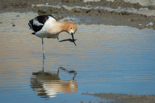 American Avocet, Rollover Pass