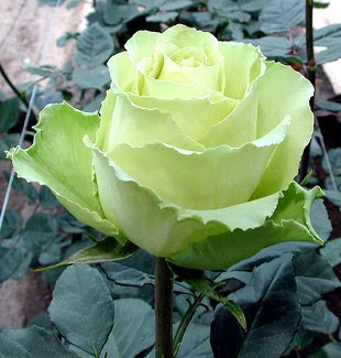green color rose image  7 Arti Warna Pada Bunga Mawar
