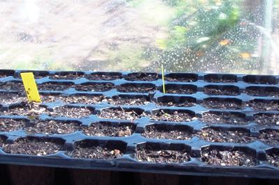 Cómo hacer un semillero de Tomates