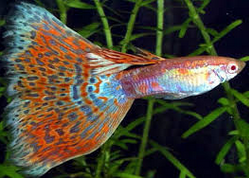Jenis  Ikan Guppy Triangle Tail