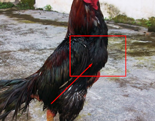 tembolok atau telih ayam