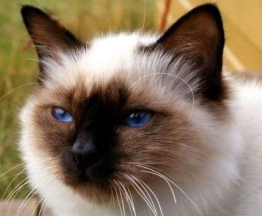 Ciri Khas yang dimiliki kucing birman