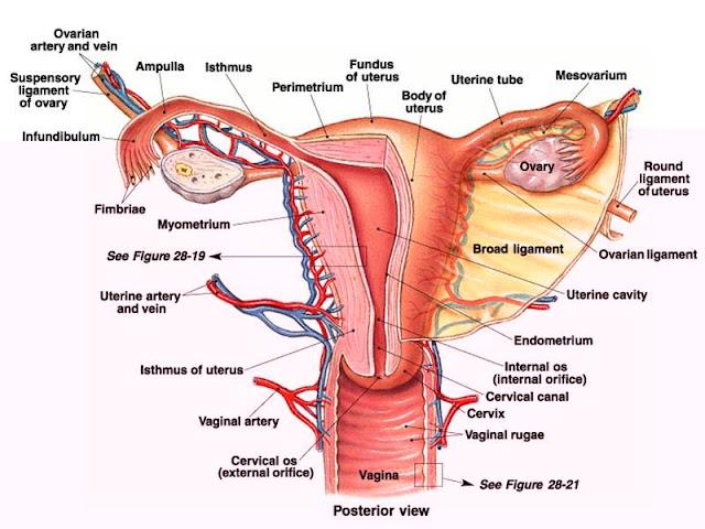 Susunan Sistem Reproduksi Wanita