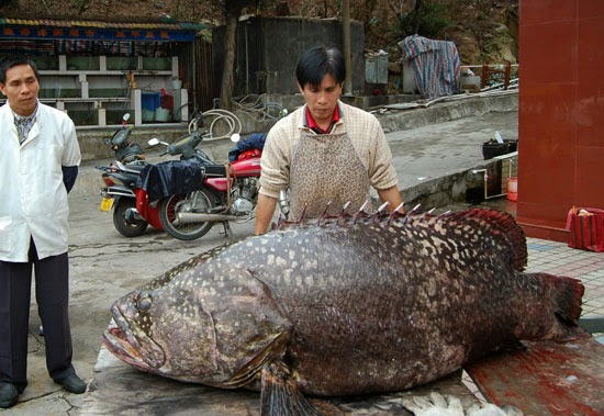 Big Fishes of the World: GROUPER GIANT page 2