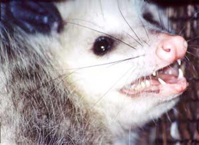 ANIMAL WORLD TokTil: Animal World - All about OPOSSUM around