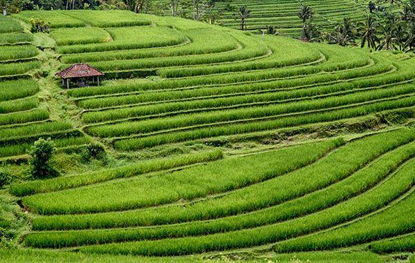 Bali Rice Terrace Jatiluwih Tour - Bali Tanah Lot Temple Sunset Tour - Bali Full Day Tour Packages - Bali Activities