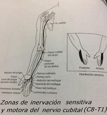 nervio cubital c8-t1