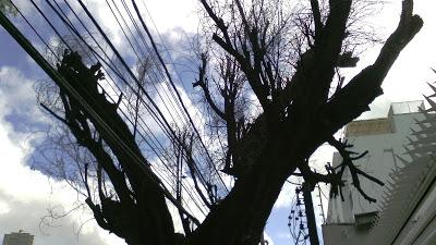 Multas de até R$ 50 mil para podas irregulares de árvores