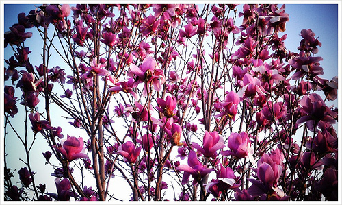The Daily Pixel 58 Saucer Magnolia In Spring Finery