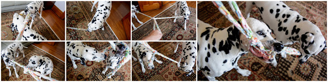 Dalmatian dogs playing with homemade woven fleece Easter tug toy