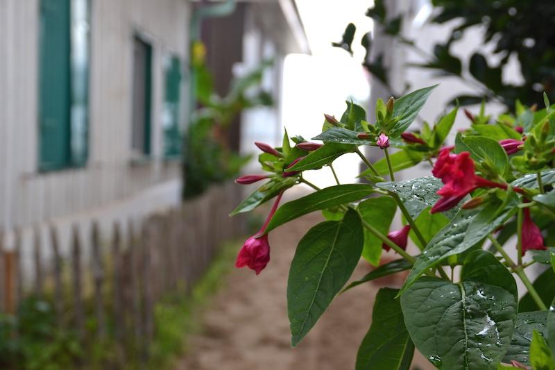 fleurs au Cap-Ferret