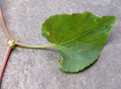 Hoja acorazonada de Viola riviniana
