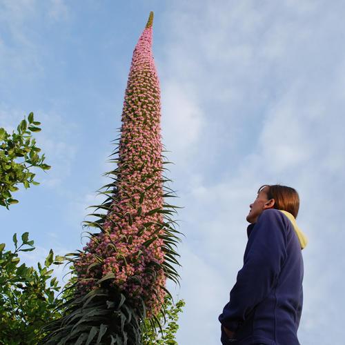 Plantes étonnantes (ou belles ou intéressantes ou marrantes ou ce que vous voulez) - Page 2 Echium