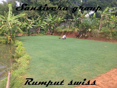 Rumput_swiss