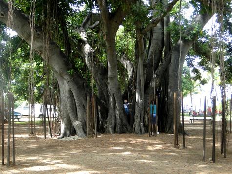 Waikiki Banyan Trees