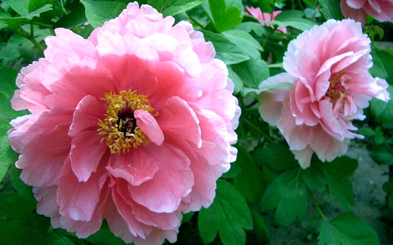 peony flower meaning  flower, Natural flower