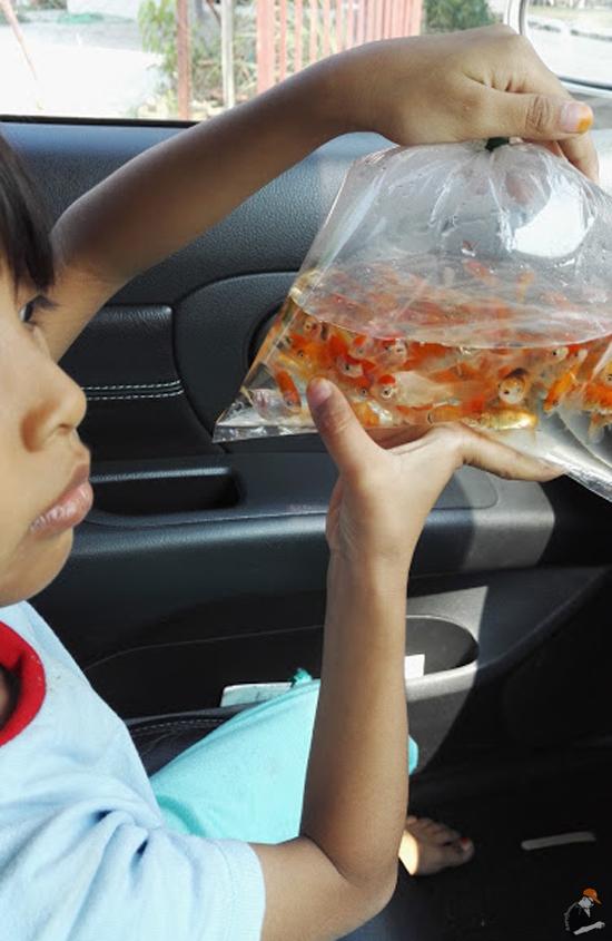 Anak Ikan Kap - Makanan Terbaik Ikan Kelisa