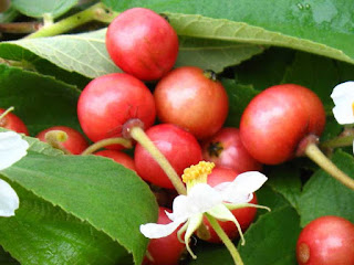 capulin cherry fruit images