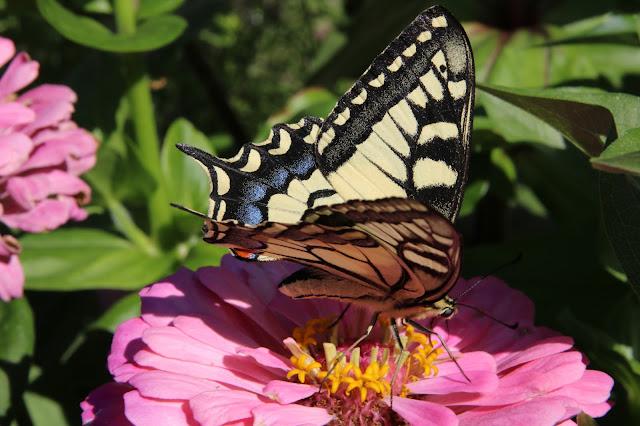 Makaon butterfly