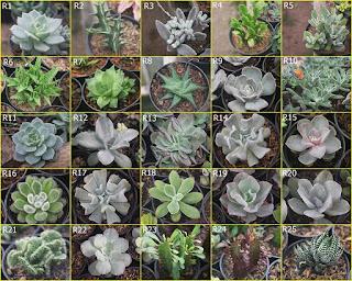 bibit-tanaman-sukulen.jpg