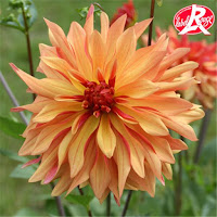 Dahlia french cancan