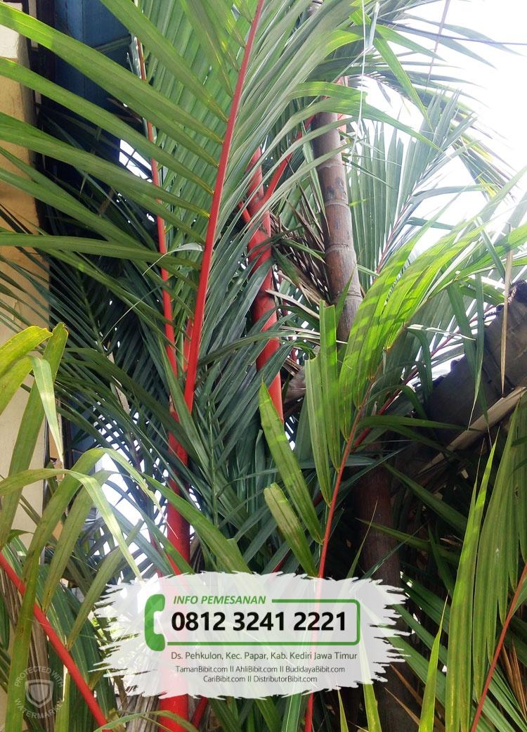 Jual Bibit Benih Biji Pohon Palem Merah Tamanbibit Com