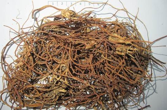 Long đởm thảo - Gentiana scabra - Nguyên liệu làm thuốc Chữa Bệnh Tiêu Hóa