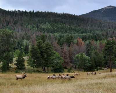Elk Herd at Rocky Mountain National Park