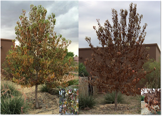 A composite photo of a pear tree. The tree on the left is showing leaves that are turning yellow and brown. The tree on the right is the same tree seven days later with dark brown dead leaves.