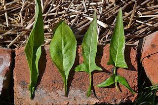 Variation in Bunias orientalis leaf shape