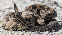 Rattlesnake photos_Cortalus Horridus